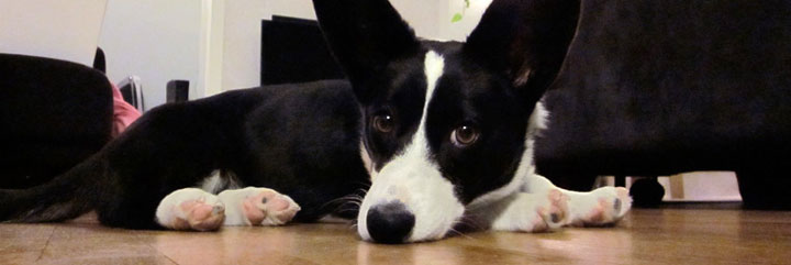 Rigby the black and white Welsh Corgi